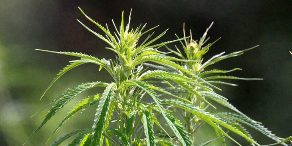 CBD - Cannabidiol, medizinischer Wirkstoff der Hanfpflanze