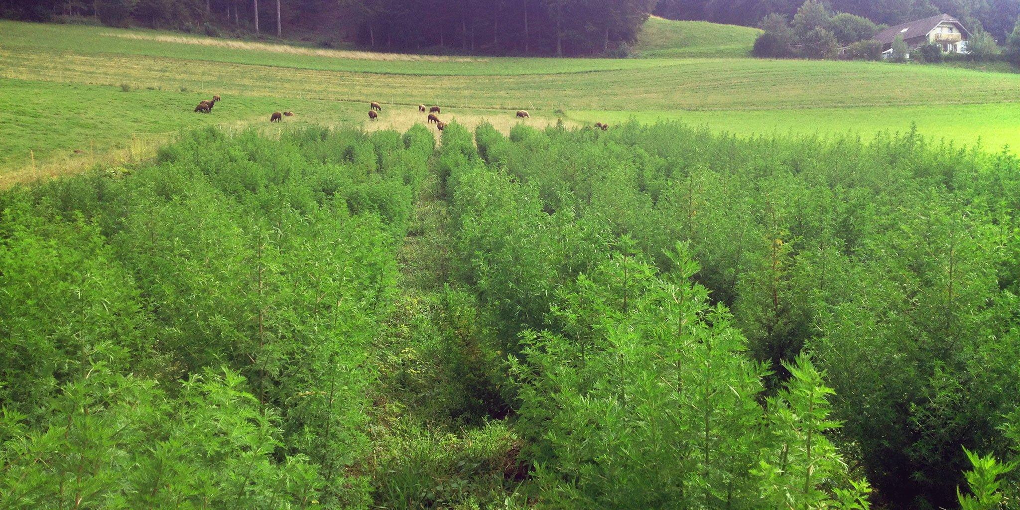 artemisia natürlicher anbau rohstoffe schweiz qualität