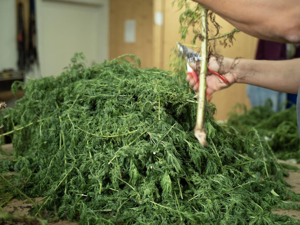 Artemisia, Artemisia PET, Artemisia Pflanze, Produktion, Covid