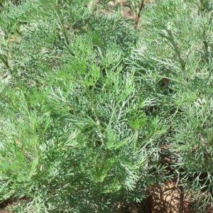 Artemisia Tierfutter kaufen