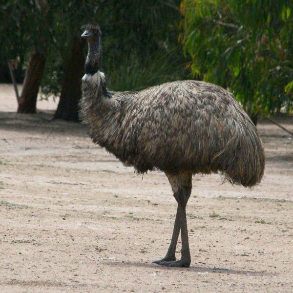 Emu Creme, natur, bestellen, Switzerland